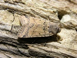 Beaded Chestnut (Agrochola lychnidis)